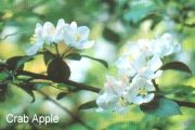 crab_apple