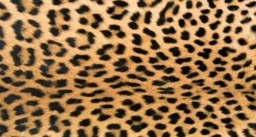 socesecre leopardo